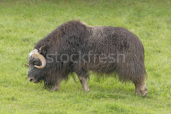 Stock photo: Musk Ox in a Preserve