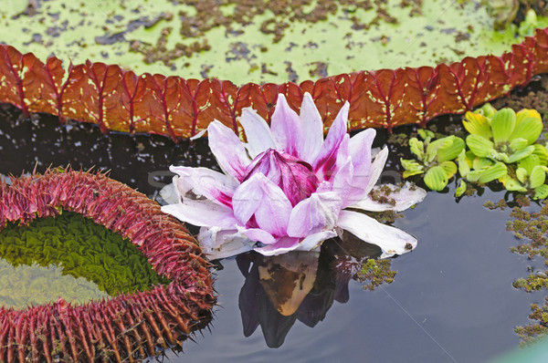Giant Water Lily and its lily pad Stock photo © wildnerdpix