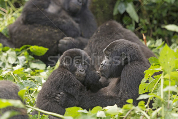 Mother and Child Gorilla in the Forest Stock photo © wildnerdpix