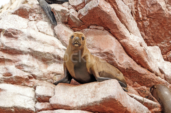 female sea lion on coastal rocks Stock photo © wildnerdpix