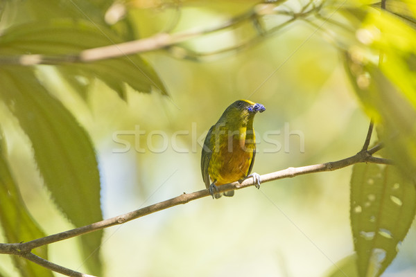 Olive Backed Euponia eating in a Tree Stock photo © wildnerdpix