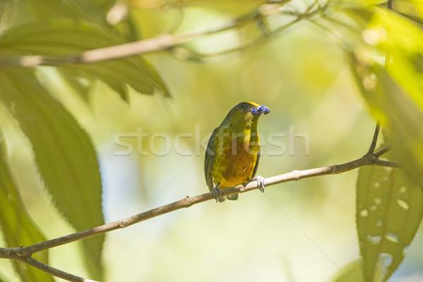 Oliwy jedzenie drzewo parku krajobraz ptaków Zdjęcia stock © wildnerdpix