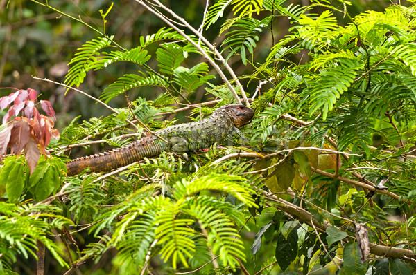 Kertenkele rainforest ağaç hayvan Amazon uzak Stok fotoğraf © wildnerdpix