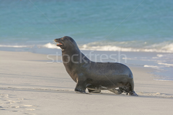 Galapagos Sea Lion Posing Stock photo © wildnerdpix