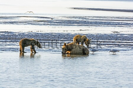 母親 クマ 公園 アラスカ州 ビーチ 家族 ストックフォト © wildnerdpix