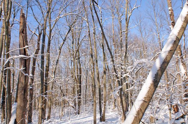 Friss hó erdő fák álmos üreges Stock fotó © wildnerdpix
