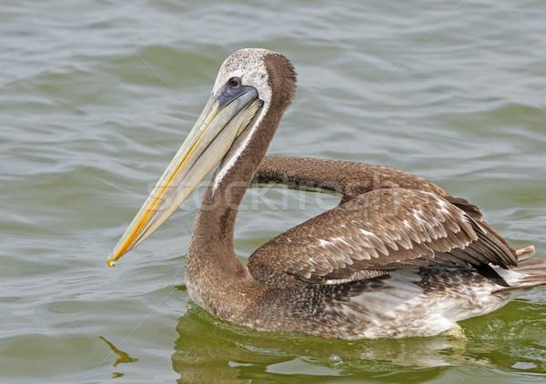 Stock photo: Peruvian Pelican in Ocean Waters
