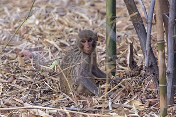 Bebek maymun orman park Hindistan doğa Stok fotoğraf © wildnerdpix