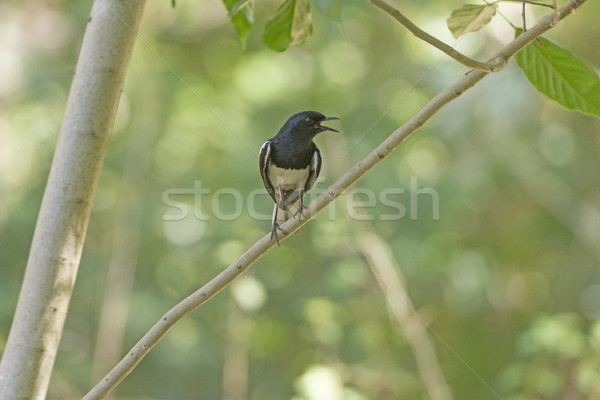 Stock photo: Oriental Magpie-Robin in a Tree