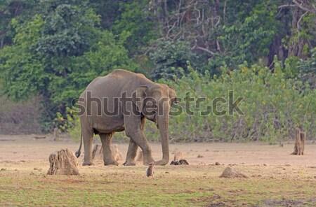Büyük erkek fil nehir banka park Stok fotoğraf © wildnerdpix