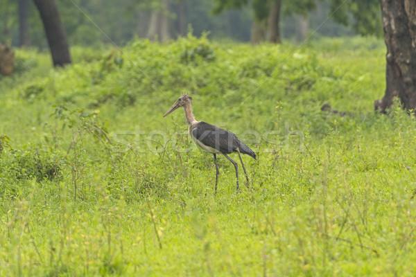 Cegonha parque Índia natureza pássaro remoto Foto stock © wildnerdpix