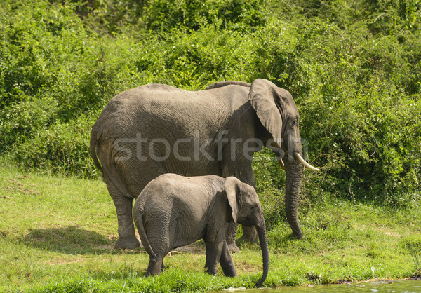 Mother and Baby Elephant along a River Stock photo © wildnerdpix