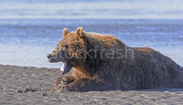 несут зевать хорошие еды пляж довольно Сток-фото © wildnerdpix