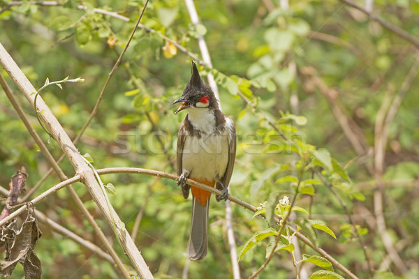 Red-whiskered Bulbul in a tree Stock photo © wildnerdpix