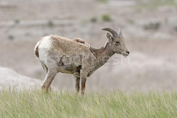Bighorn Sheep in the Prairie Stock photo © wildnerdpix