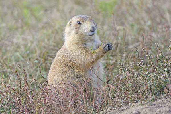 Prairie Dog Eating in the Prairie Stock photo © wildnerdpix