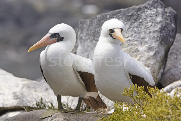 Sessão rocha ilha natureza paisagem pássaro Foto stock © wildnerdpix