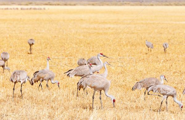 Sandhill cranes feeding in a grassy field Stock photo © wildnerdpix