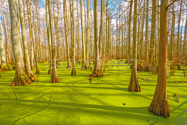 Sun Breaking Through on a Cypress Swamp Stock photo © wildnerdpix
