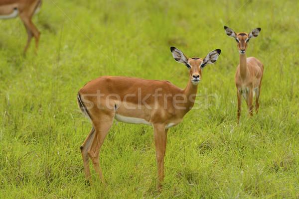 Female Impala in the wilderness Stock photo © wildnerdpix