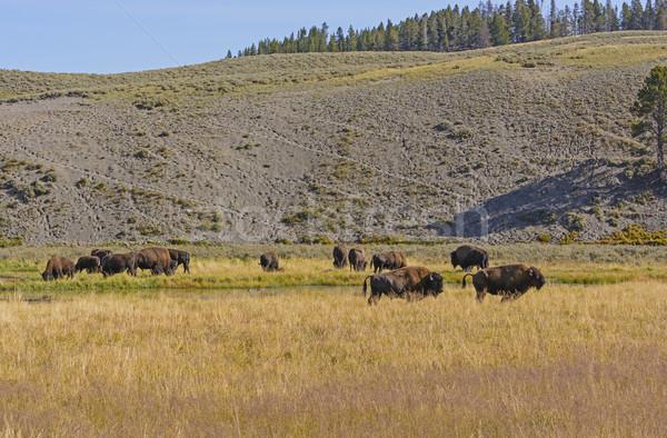 ストックフォト: バイソン · アメリカン · 西 · 谷 · 自然 · 動物