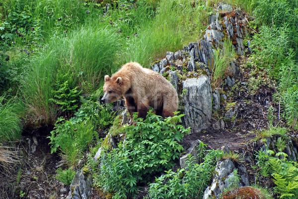 小さな クマ を見て 脅威 グリズリー 潜在的な ストックフォト © wildnerdpix