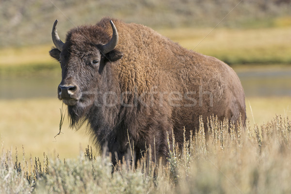American Bison on the Plains Stock photo © wildnerdpix