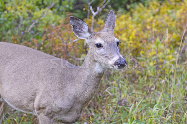 Mule Deer in the Western Mountains Stock photo © wildnerdpix