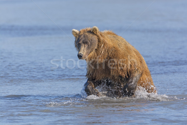 Vis park Alaska beer mooie Stockfoto © wildnerdpix