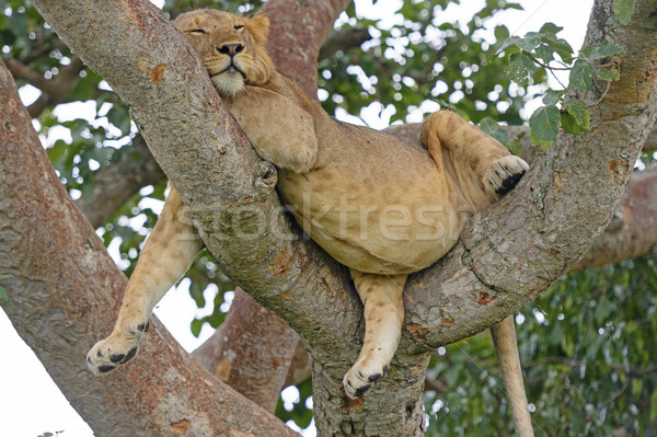 Stock photo: Young African Male Lion Asleep in a Tree