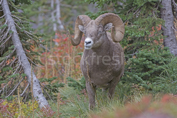 Bighorn Sheep Chewing its Food in the Mountains Stock photo © wildnerdpix