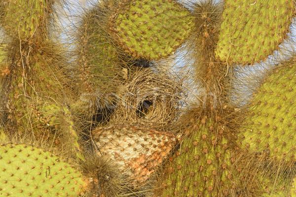 Cactus nest eiland natuur afstandsbediening Stockfoto © wildnerdpix
