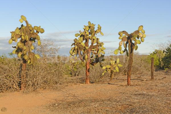 Cactus Forest on a Desert Island Stock photo © wildnerdpix