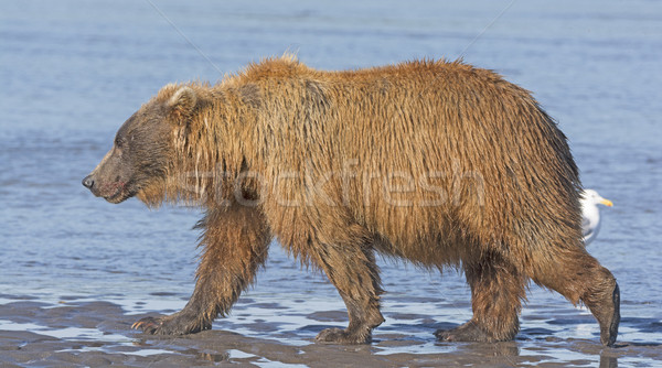 Bear Walking across a Tidal Mud Flat Stock photo © wildnerdpix