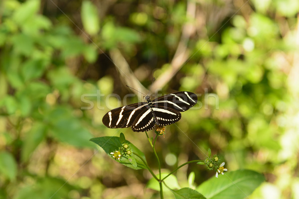 Zebra Longwing Butterfly in a Sub-tropical forest Stock photo © wildnerdpix