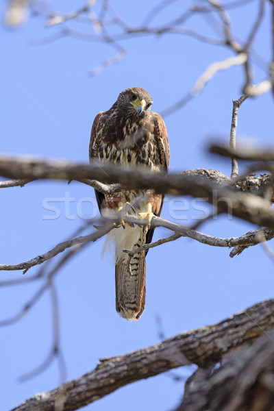 Red Shouldered Hawk Looking Down Stock photo © wildnerdpix