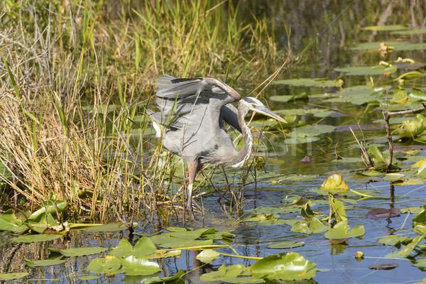 синий цапля воды птица биологии Сток-фото © wildnerdpix
