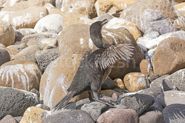 Flightless Cormorant in the Galapagos Islands Stock photo © wildnerdpix