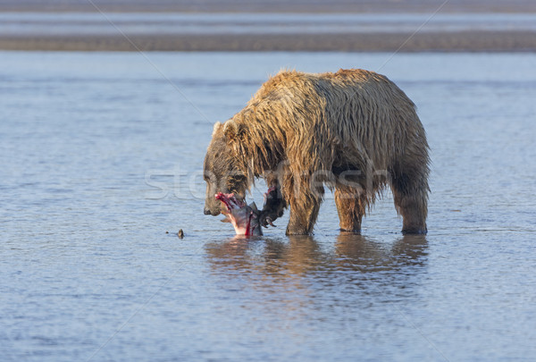 Bear Eating a Salmon it Caught Stock photo © wildnerdpix
