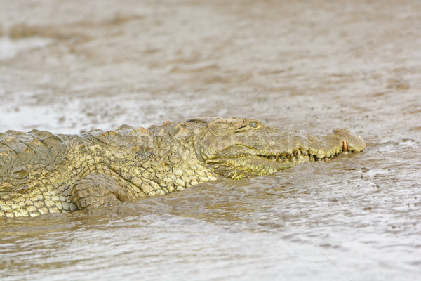 Head View of a Mugger Crocodile on a River Bank Stock photo © wildnerdpix