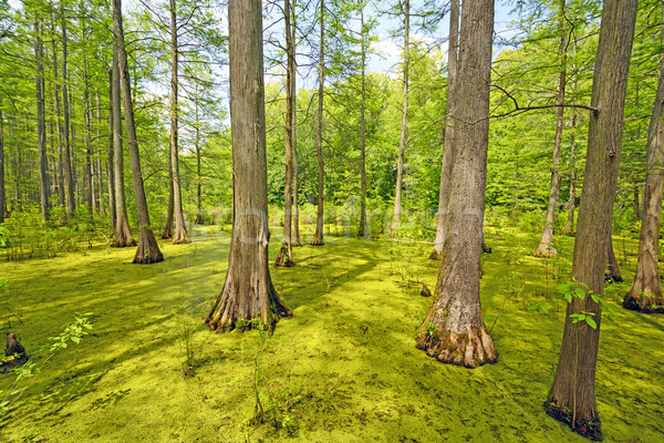 Hidden Cypress Forest on a Sunny Day Stock photo © wildnerdpix
