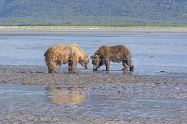 Ours confrontation parc Alaska plage joli Photo stock © wildnerdpix