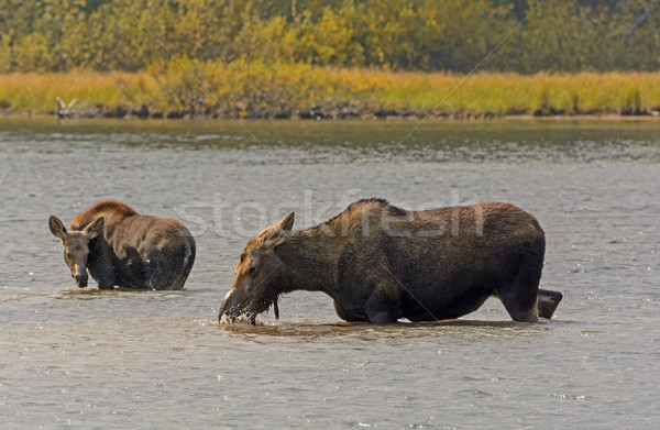 Mom and Baby Moose in a Mountain Lake Stock photo © wildnerdpix