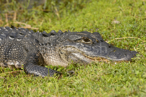 Amerikaanse alligator haai vallei biologie outdoor Stockfoto © wildnerdpix