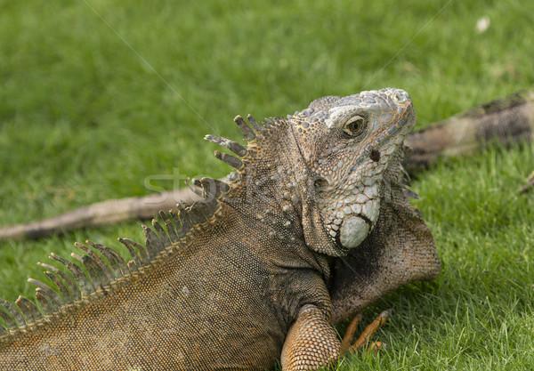 Groene leguaan stad park dier biologie Stockfoto © wildnerdpix