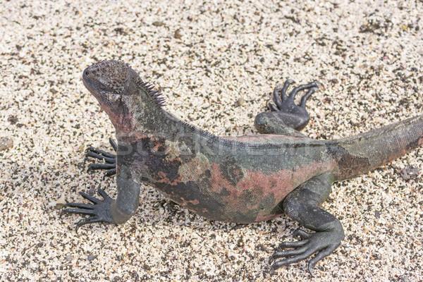 Renkli deniz iguana plaj ada kum Stok fotoğraf © wildnerdpix