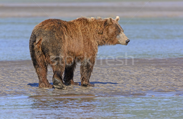 Grizzly Profile on a Mudflat Stock photo © wildnerdpix