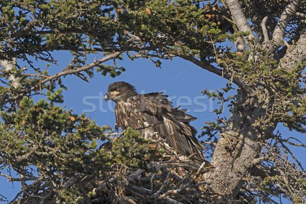 Juvenil careca Águia ninho pássaro remoto Foto stock © wildnerdpix