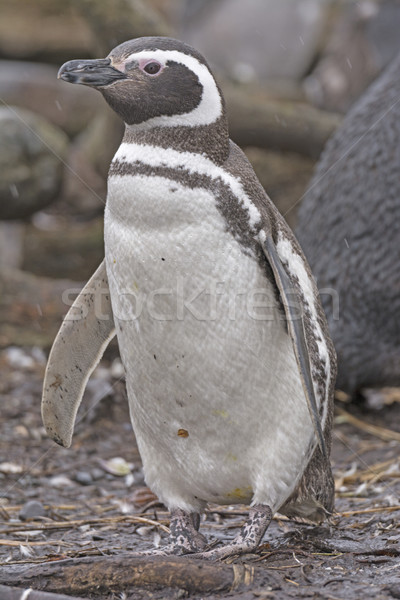 Pinguin afstandsbediening eiland natuur vogel dier Stockfoto © wildnerdpix