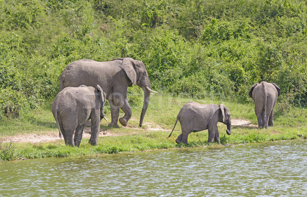 African Elephant Family Group along a River Stock photo © wildnerdpix